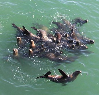 Happy sea lions waving at you, photo by Lunaea
